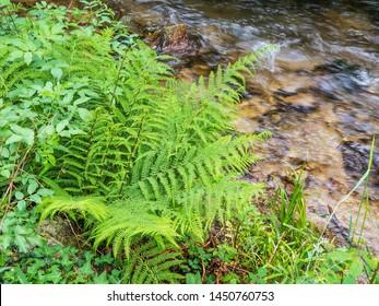 Lady fern, Athyrium filix-femina, on Armenteira river bank in Galicia, Spain
