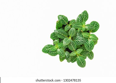 Lady palm or Bamboo palm (Green Episcia cupreata)/Green Episcia cupreata (Hook.) Hanst) Episcia cupreata is a plant species in the family Gesneriaceae that is found from Central America.