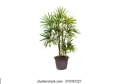 Lady Palm or Bamboo Palm isolated on white background