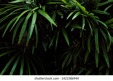 lady palm or bamboo palm minimal tree  , tropical plant in jungle .