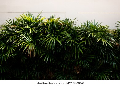 lady palm or bamboo palm minimal tree  , tropical plant