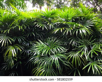 Lady palm in the garden decorations