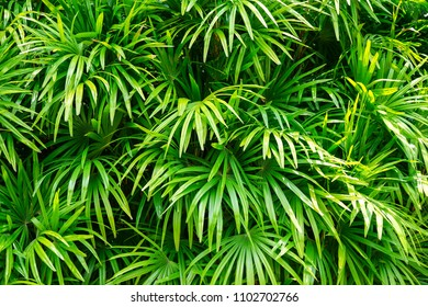 Lady palm in the garden, green plantation,summer background.