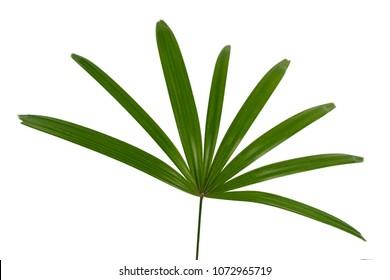 Lady Palm leaf