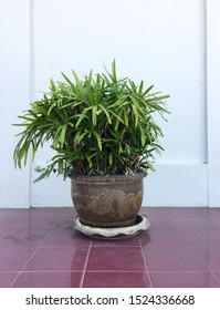 Lady palm trees in clay pot