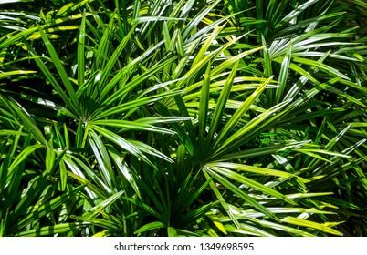 Lady Palms leaf, Green garden background
