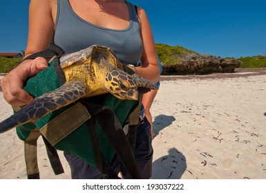 Lady releases green turtle for conservation