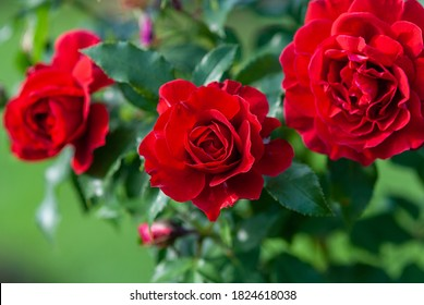 Lady Ryder of Warsaw rich crimson red roses - modern british shrub by Harkness - Shutterstock ID 1824618038