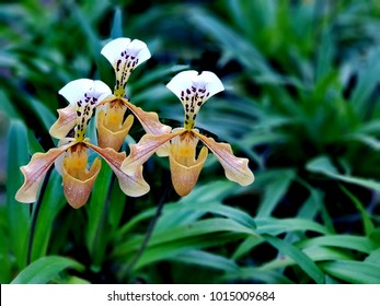 Lady Slipper Orchids are one of the most beautiful orchids,have a pouch-shaped petal called the labellum. This includes Cypripedium, Paphiopedilum, and Phragmipedium orchids.