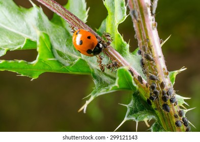 ladybird attacked by ant