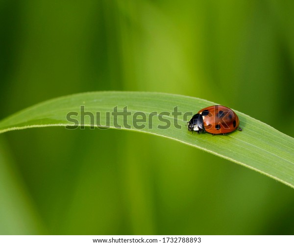 Ladybird Beetle in Central Texas