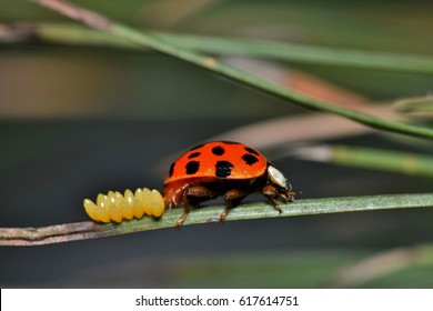 A ladybird beetle laying eggs on a pine needle during the onset of Spring.