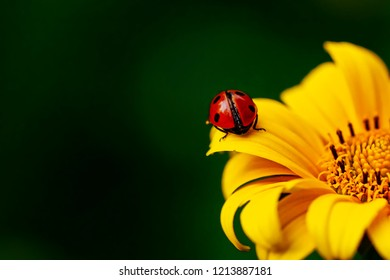 Ladybird beetle on flower