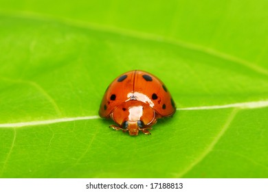 Ladybird bug on a leaf with green background.