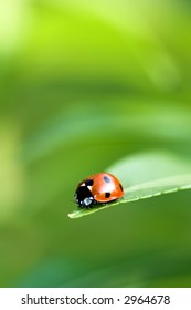 Ladybird bug on a leaf with green background