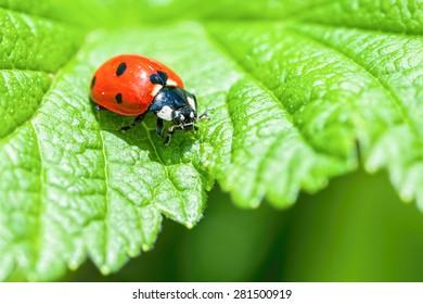 Ladybird closeup on a leaf