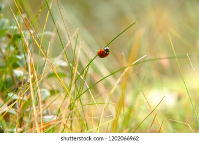 Ladybird (Coccinellidae) hanging on a green grass. Blurred background.