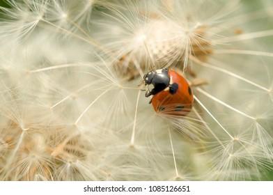 Ladybird (coccinellidae) on dandelion flower