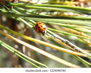 Ladybird (Coccinellidae) on a pine branch