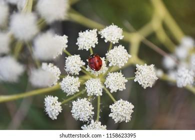 Ladybird (coccinellidae) sitting on flower.