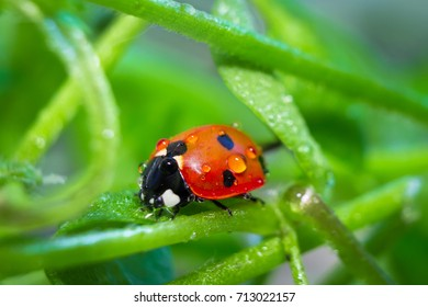 ladybird with drops of dew, close-up, macro