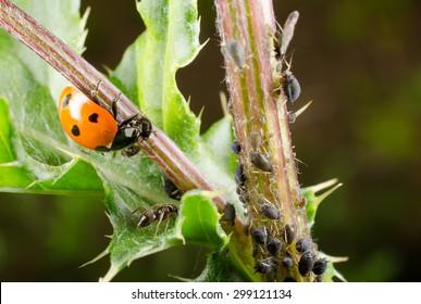 ladybird feeds on black bean aphids
