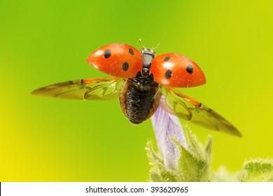 Ladybird flying away
