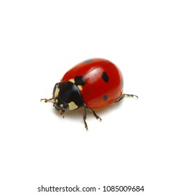 Ladybird isolated on white background