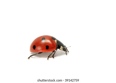 ladybird isolated on a white background