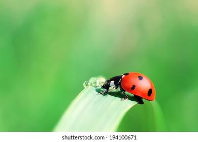 Ladybird on a blade of grass drinking water