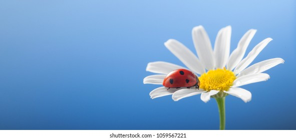 ladybird on camomile flower