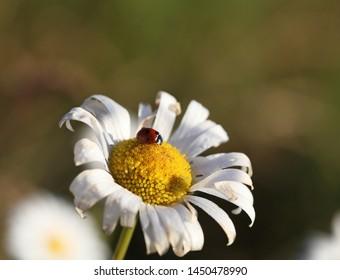Ladybird on a daisy at dawn. Close-up, selective focus