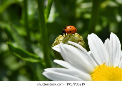 Ladybird on daisy. Image about summer  and flowers. High resolution photo. Selective focus. Shallow depth of field.