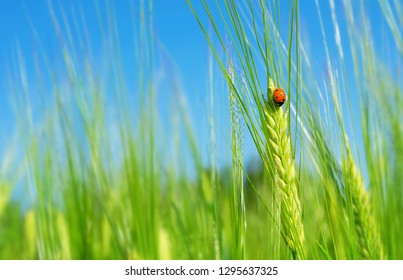 Ladybird on  green barley spikelet. Natural background with ladybug on green barley