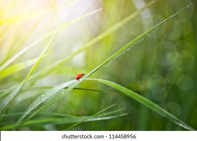 Ladybird on the green grass.