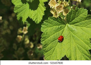 Ladybird on green leaf of currant in summer