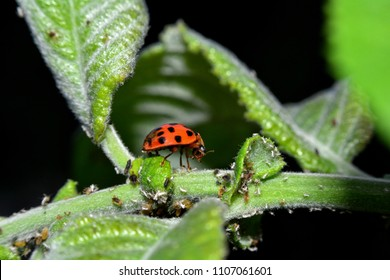 Ladybird on green leaf with many aphids