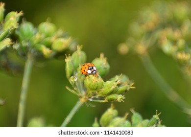 Ladybird on green plant  in nature