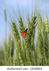 ladybird on the green wheat