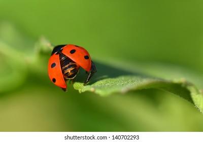 Ladybird on the leaf
