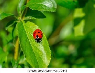 Ladybird on spring leaf in the garden.