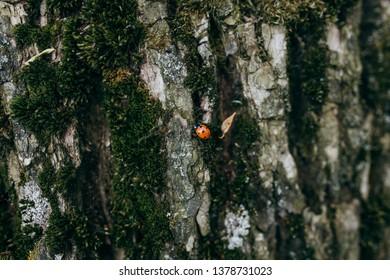 Ladybird on the tree.