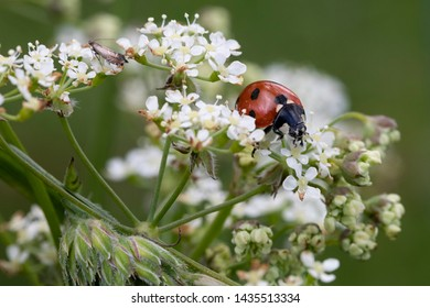 A ladybird on white cow parsley in Scotland.  The ladybird is predominantly red with a small number of large black spots.  There is also a small moth in the upper left of the image.