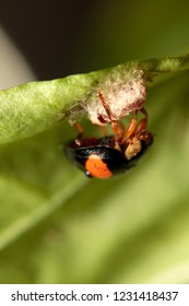A ladybird protecting its nest