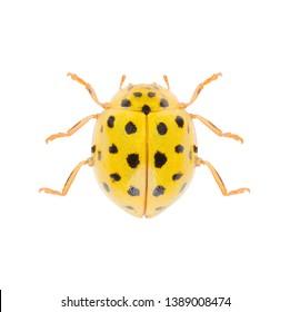 Ladybird Psyllobora vigintiduopunctata or Psyllobora 22-punctata isolated on white background. Dorsal view of the 22-spot ladybird.