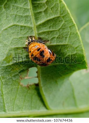 Ladybird Pupa Vertical Macro Leaf Underside Stock Photo Edit Now
