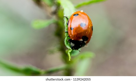 The Ladybird sits on a colored leaf. Macro photo of ladybug close-up. Coccinellidae.
