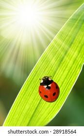 ladybird sitting on a sheet of grass