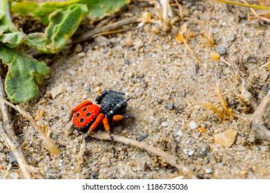 Ladybird spider or Black Eresus kollari close