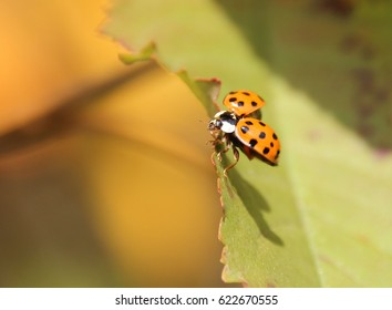 a ladybird starts his fly with open wings